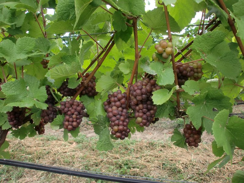 Pinot Grigio hanging