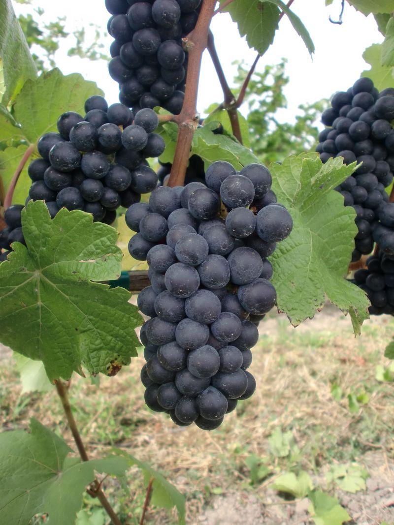 Pinot Noir 777