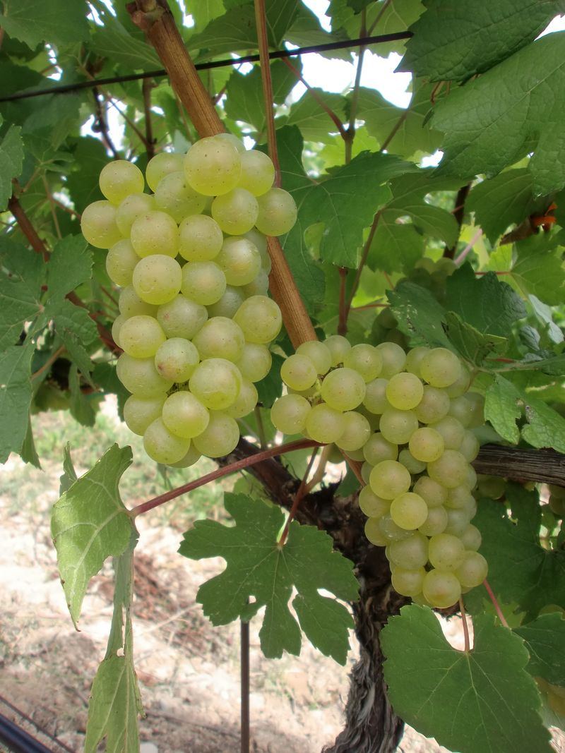 Chardonnay clusters